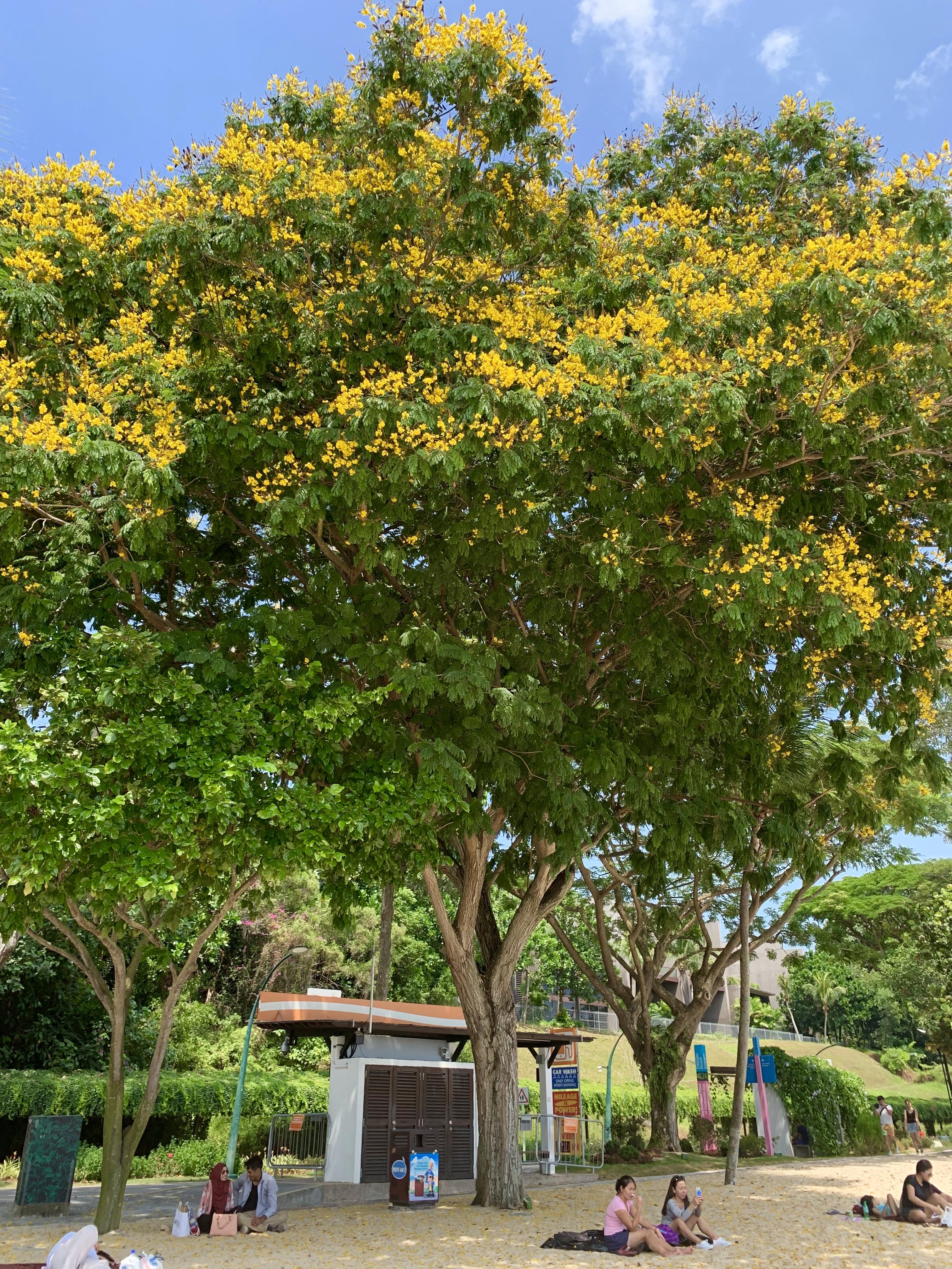 タラワンビーチ 木
